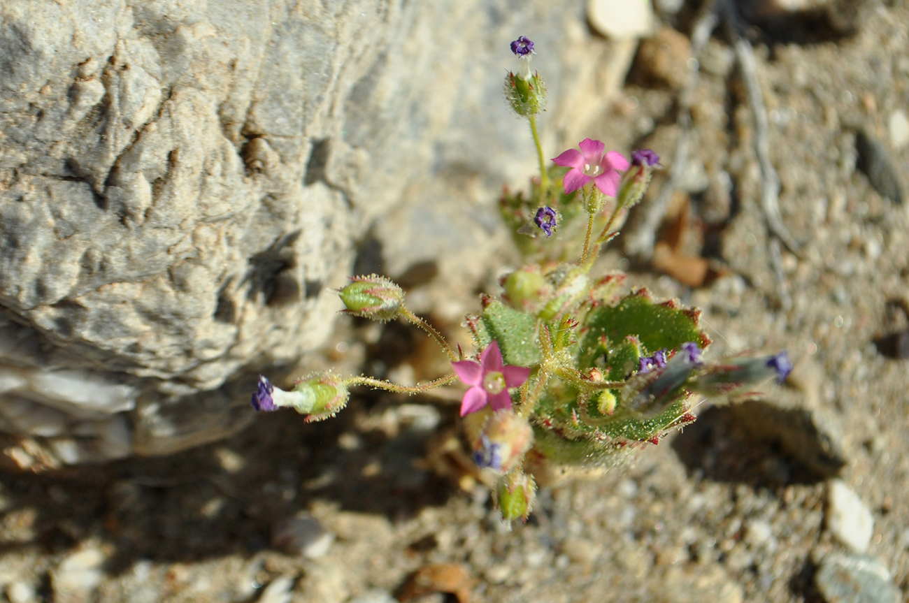 photo - death valley flowers