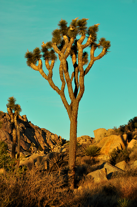 photo - joshua tree
